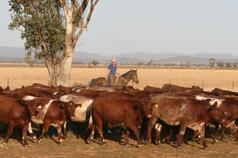 Mob of heifers